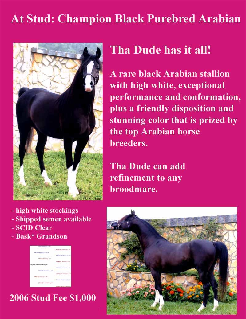Black Arabian Stallion Horse Stud