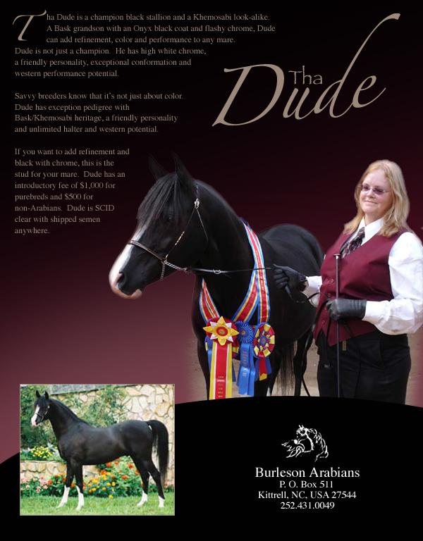 arabian horse wallpaper. arabian stallion